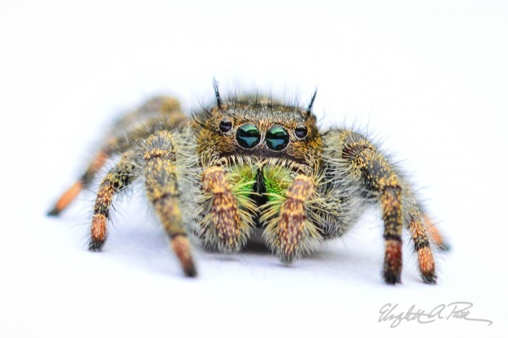 Does God Love Wolf Spiders?