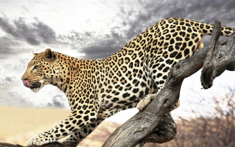 Leopard-frames and new outlooks
